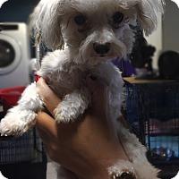 Adopt A Pet :: Molly - Kansas city, MO