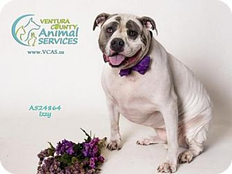 American Bulldog Mix Dog for adoption in Camarillo, California - IZZY