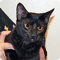 Domestic Shorthair Cat for adoption in Wildomar, California - Bambino (bambi)