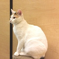Domestic Shorthair Kitten for adoption in Bulverde, Texas - Coconut