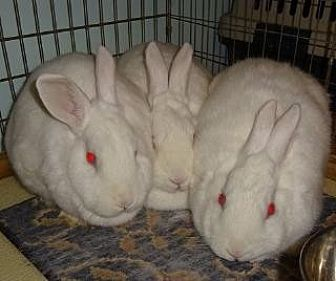Florida White Mix for adoption in Woburn, Massachusetts - May and Polly