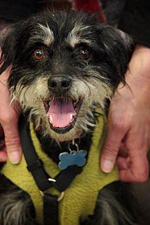 Miniature Schnauzer/Whippet Mix Dog for adoption in Portland, Oregon - Stevie