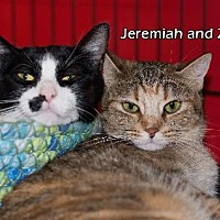 Domestic Shorthair Cat for adoption in Albuquerque, New Mexico - Jeremiah