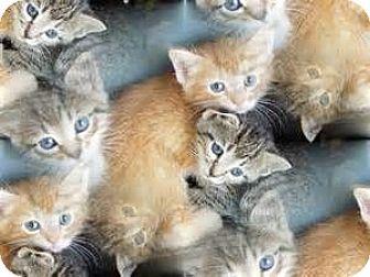 Adopt A Pet :: Kittens  - Virginia Beach, VA
