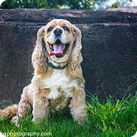 Adopt A Pet :: Ruffles - Houston, TX