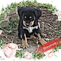 Adopt A Pet :: Sheyenne - San Bernardino, CA