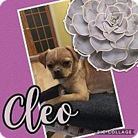 Adopt A Pet :: Cleo - Unionville, VA