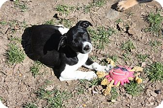 Dachshund Mix Puppy for adoption in kennebunkport, Maine - Bella - PENDING, in Maine