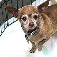 Adopt A Pet :: Lily - Studio City, CA