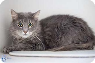 Maine Coon Cat for adoption in Merrifield, Virginia - Zeus