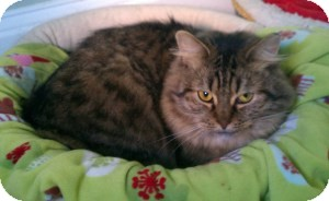 Maine Coon Cat for adoption in Acushnet, Massachusetts - Muffin