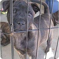 Adopt A Pet :: Mr Blue - resevoir dog litter - Phoenix, AZ