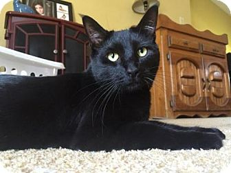 Domestic Shorthair Cat for adoption in Grove City, Ohio - Bruno