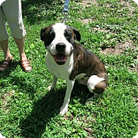 Adopt A Pet :: Gus - Geneseo, IL