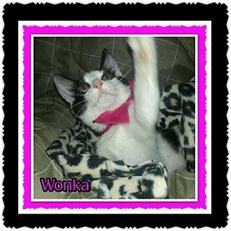 Domestic Shorthair Cat for adoption in Richmond, California - Wonka