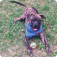 Adopt A Pet :: Alice - East Randolph, VT