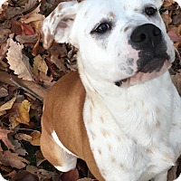 Adopt A Pet :: Kooper  **Courtesy Post** - Troutville, VA