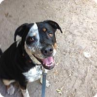 Adopt A Pet :: Broady - Groveland, FL