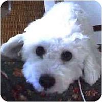 Adopt A Pet :: Bixby - La Costa, CA