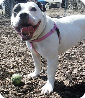 American Staffordshire Terrier Mix Dog for adoption in Middletown, New York - Shay