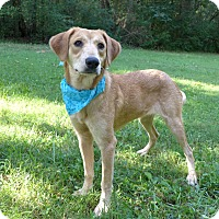 Adopt A Pet :: Honey - Mocksville, NC