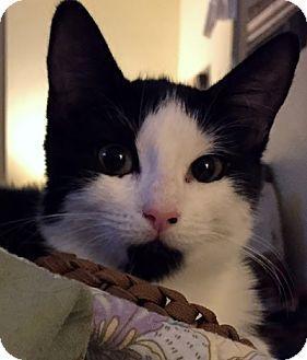 Domestic Shorthair Kitten for adoption in Woodland Hills, California - Cerveza