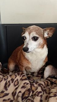 Chihuahua Dog for adoption in Westminster, California - Enchilada