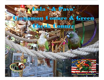Conure for adoption in Vancouver, Washington - Lola & Pavo-Green Cheek Conure
