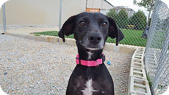 Rat Terrier Mix Dog for adoption in Frankfort, Illinois - Fiona