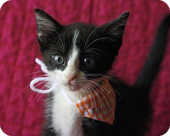 Domestic Mediumhair Kitten for adoption in Mayflower, Arkansas - Sally