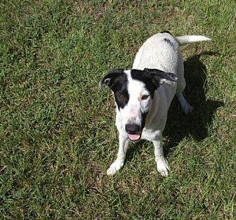 Labrador Retriever/Hound (Unknown Type) Mix Dog for adoption in Jefferson, Texas - Thumper
