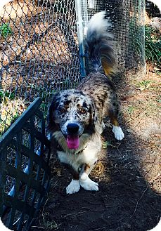 Australian Shepherd/Basset Hound Mix Dog for adoption in Sagaponack, New York - Pepper
