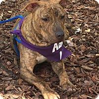 Adopt A Pet :: Nicky - Pompano, FL