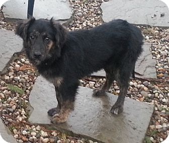 Australian Shepherd/English Shepherd Mix Puppy for adoption in Bardonia, New York - Boo
