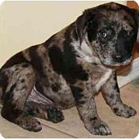 Adopt A Pet :: Patch - Gilbert, AZ