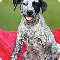 Adopt A Pet :: Cricket - Albany, NY