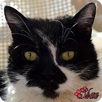 Domestic Shorthair Cat for adoption in Spring Valley, California - Sheva