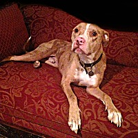American Pit Bull Terrier Dog for adoption in Des Moines, Iowa - Simon ADOPTION PENDING