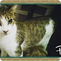 Domestic Mediumhair Kitten for adoption in San Bernardino, California - Gizmo