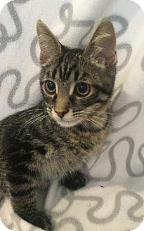 Domestic Shorthair Kitten for adoption in Westminster, California - Pistachio