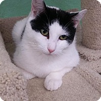 Domestic Shorthair Cat for adoption in Freeport, New York - Moo