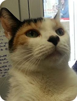Domestic Shorthair Cat for adoption in Highland Park, New Jersey - CHLOE