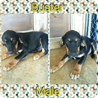 Labrador Retriever/Treeing Walker Coonhound Mix Puppy for adoption in Manchester, Connecticut - Buster-in CT