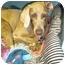 Photo 2 - Weimaraner Dog for adoption in Eustis, Florida - Chrissy