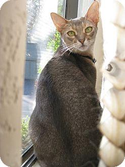 Abyssinian Cat for adoption in Davis, California - Dandelion
