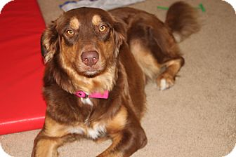 Australian Shepherd Mix Dog for adoption in scottsdale, Arizona - Nala