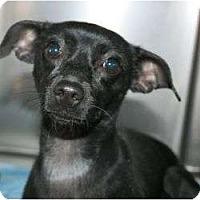 Adopt A Pet :: Satin - Canoga Park, CA