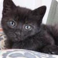 Adopt A Pet :: Frida - Polydactyl - Reston, VA