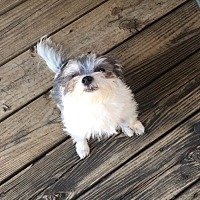 Shih Tzu/Chihuahua Mix Dog for adoption in Flower Mound, Texas - Malia