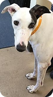 Greyhound Dog for adoption in West Palm Beach, Florida - Phantom